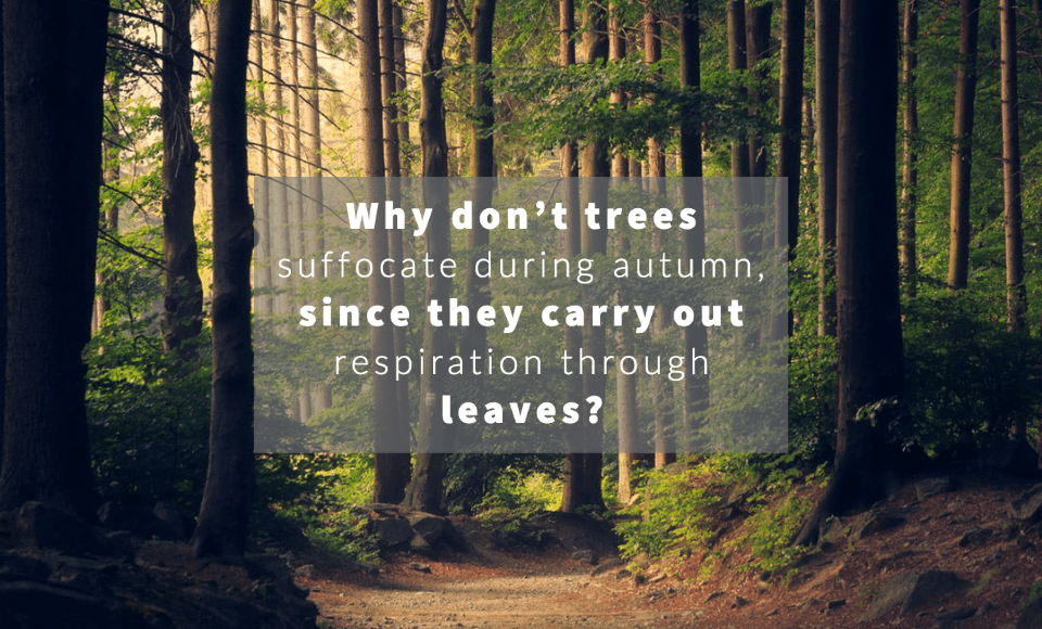 Why don't trees suffocate during autumn, since they carry out respiration through leaves