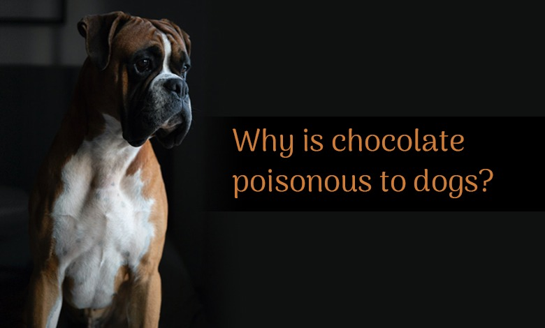 Why is chocolate poisonous to dogs?