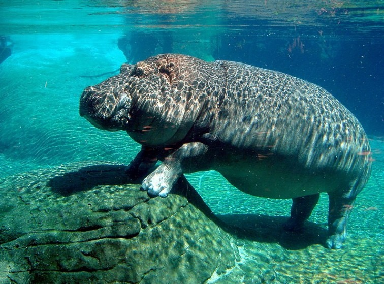 Completely submerged hippo