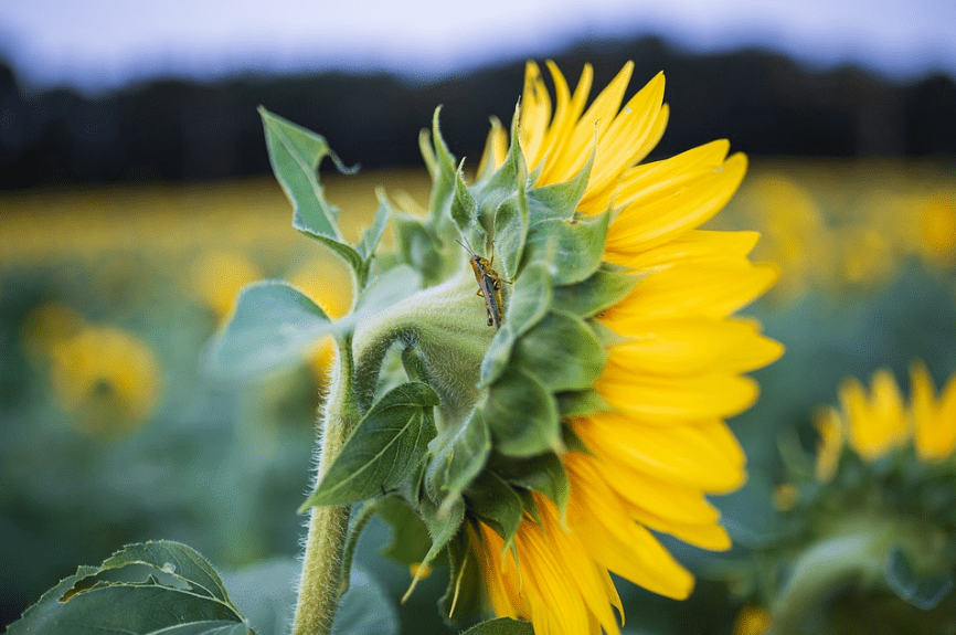 sunflowers-fields-cricket-insect